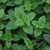 HERB OREGANO COMMON