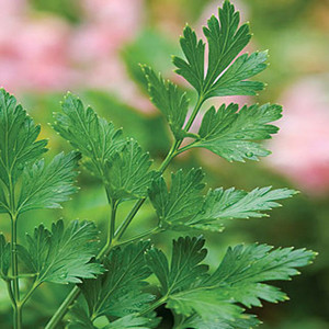 HERB PARSLEY PLAIN