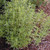 HERB SAVORY WINTER