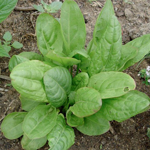 HERB SORREL LARGE LEAF