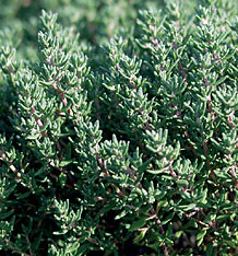 HERB THYME ENGLISH WINTER