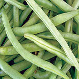 BUSH GREEN BEANS KENTUCKY WONDER