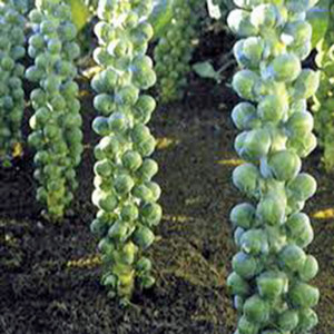BRUSSEL SPROUT LONG ISLAND