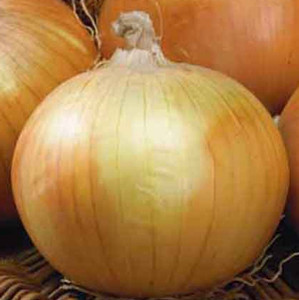 Sweet Texas Early Grano Onion