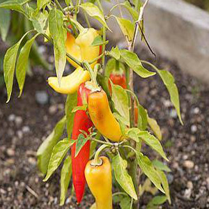 PEPPER INFERNO HUNGARIAN YELLOW WAX