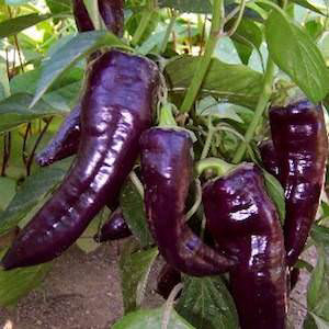 PEPPER MARCONI PURPLE