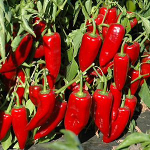 PEPPER MARCONI RED