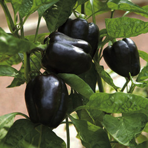 PEPPER PURPLE BEAUTY SWEET BELL