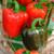 PEPPER YOLO WONDER SWEET RED