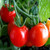TOMATO CHERRY RED LARGE