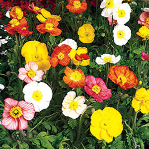 Iceland Poppy Champagne Bubbles Mix