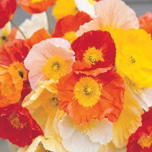 MIX BULK ***** ICELAND POPPY FLOWER SEEDS