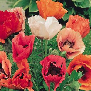Oriental Poppy Pizzicato