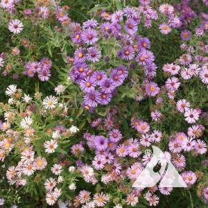 Aster, New England Wildflower