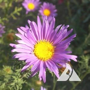 Aster, Prairie Wildflower