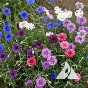Bachelor Button/ Dwarf Cornflower Wildflower