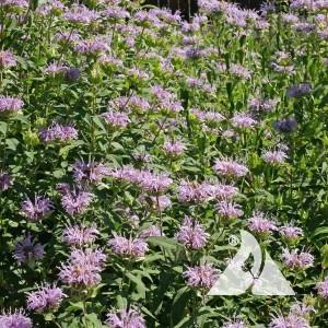 Bergamot Wildflower