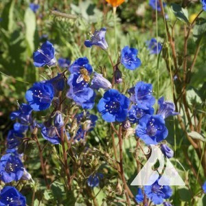 Bluebell, California Wildflower