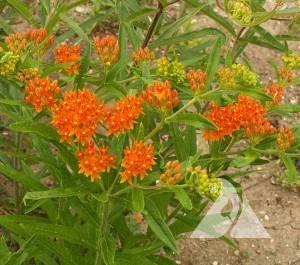 Butterfly Milkweed Wildflower