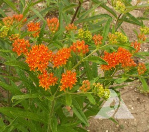 Butterfly Milkweed Wildflower