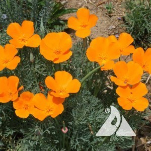 California Poppy Wildflower