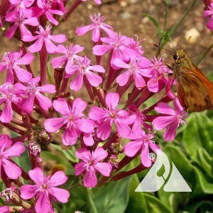 Catchfly Wildflower