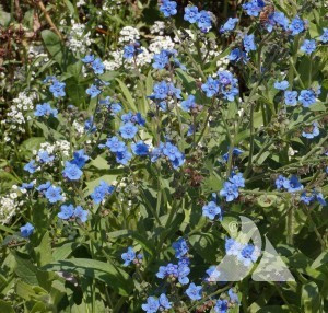 Chinese Forget Me Not Wildflower