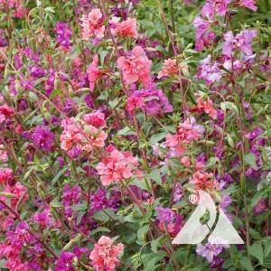 Clarkia Wildflower