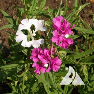 Clarkia, Deerhorn Annual Pink & White Wildflower