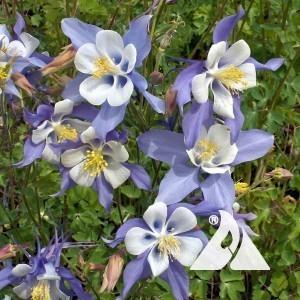 Columbine, Blue Wildflower
