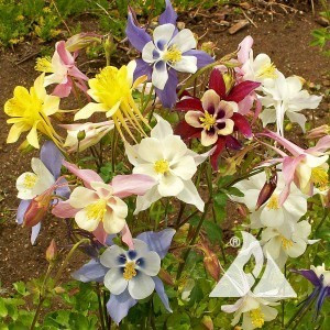 Columbine, Giant Mckana's Mix Wildflower