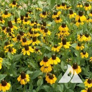 Coneflower, Clasping Wildflower