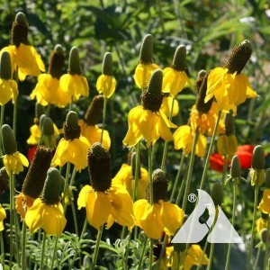 Coneflower, Prairie Wildflower