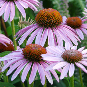 Coneflower, Purple Wildflower