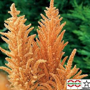 Hot Biscuits Amaranthus Seeds