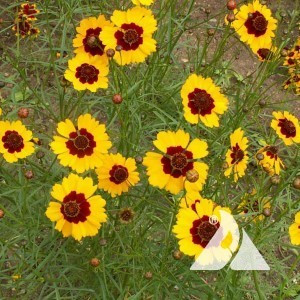 Coreopsis, Plains Wildflower
