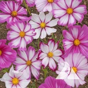 Cosmos, Candystripe Wildflower