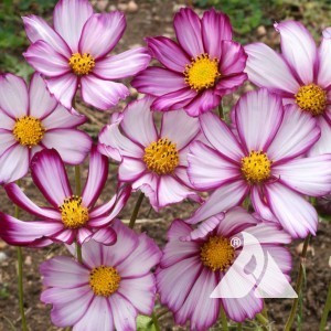 "Cosmos, ""Picotee"" Wildflower"