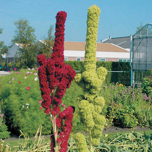 Tower Green and Red Mix Amaranthus