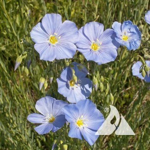 Flax, Blue Wildflower