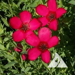 Flax, Scarlet Wildflower