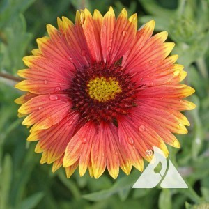 Gaillardia, Indian Blanket Annual Wildflower