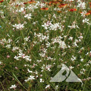 Gaura Wildflower