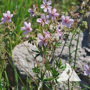 Geranium,Wild Sticky Purple Wildflower