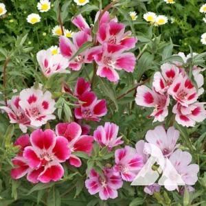 Godetia, Dwarf Wildflower