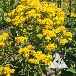 Goldenrod, Rigid Wildflower