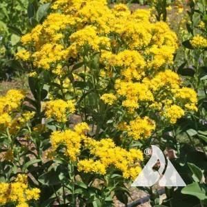 Goldenrod, Rigid Wildflower