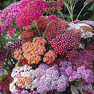 ACHILLEA FLOWERBURST RED SHADES YARROW
