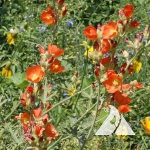 Gooseberryleaf Globemallow Wildflower