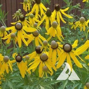 Greyheaded Coneflower Wildflower